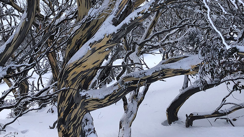 Gum trees in Thredbo
