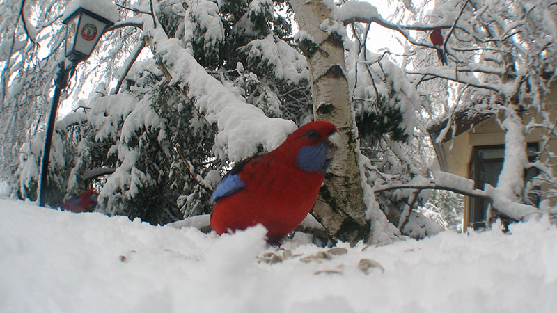 A Crimson Rosella in the snow at Candlelight Lodge